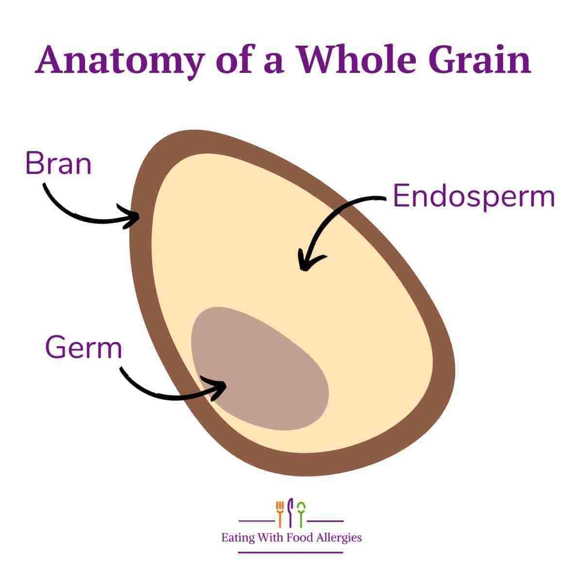 The anatomy of a whole grain that includes three parts: the bran, the germ, and the endosperm.